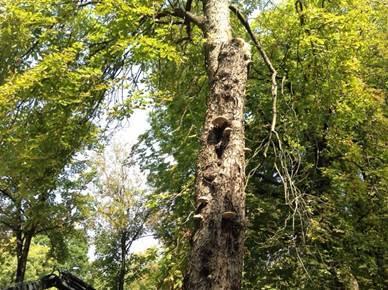 metz.fr - Abattage d'arbres morts ou malades ?